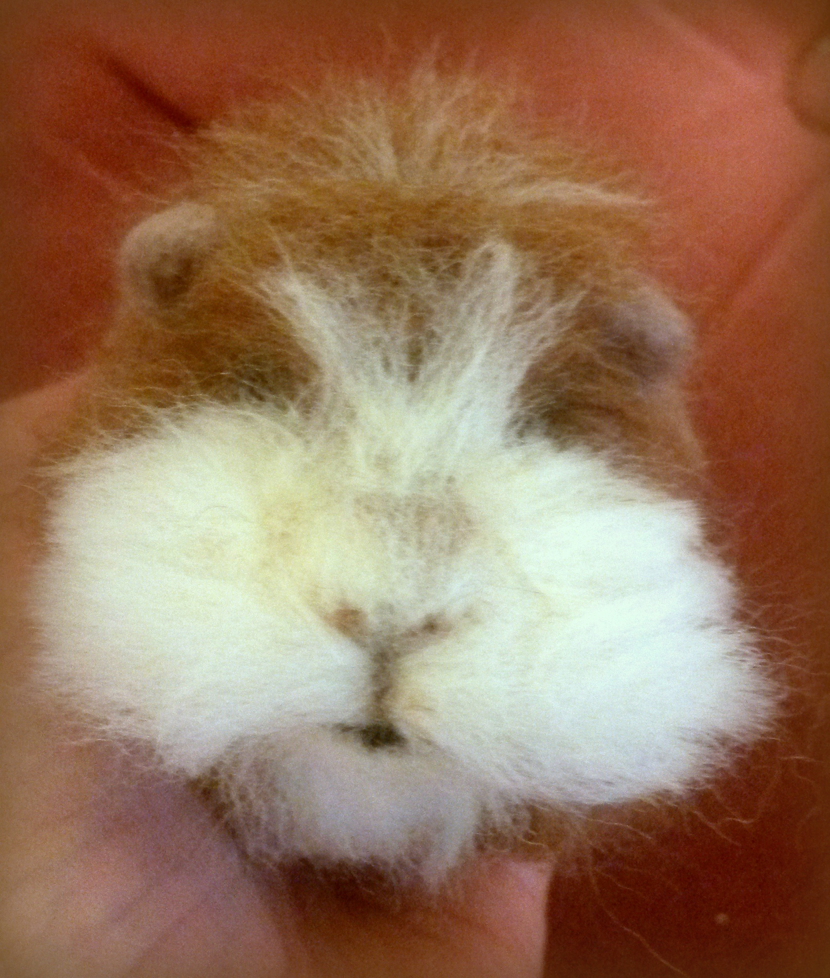 needle felted guinea pig fit to be loved