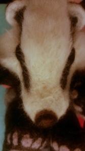 05-badger eye (12)