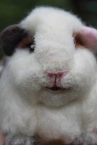 Guinea pig (33)