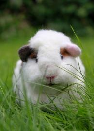 Guinea pig (39)