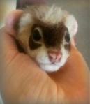 10-Ferret (3)
