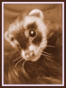 26-Ferret (35)