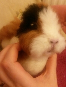 Needle felted WIP guineapig (23)